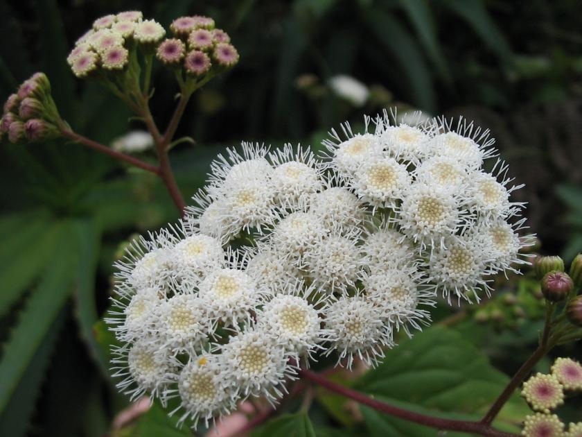 Ageratina_adenophora_(Flower)_2
