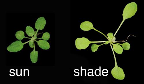 shade-avoidance.jpg
