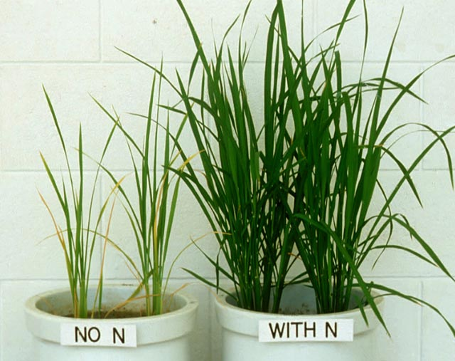 nutrients-nitrogen-deficiency.jpg